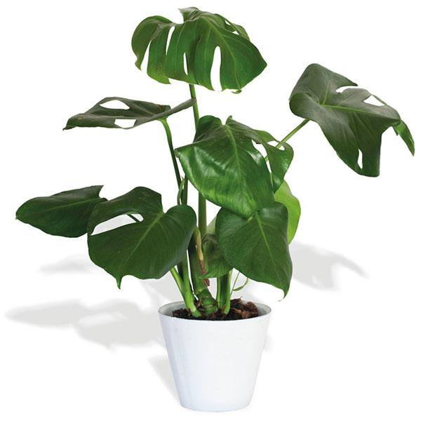 Planta Filodendro | | Florería Reviens
